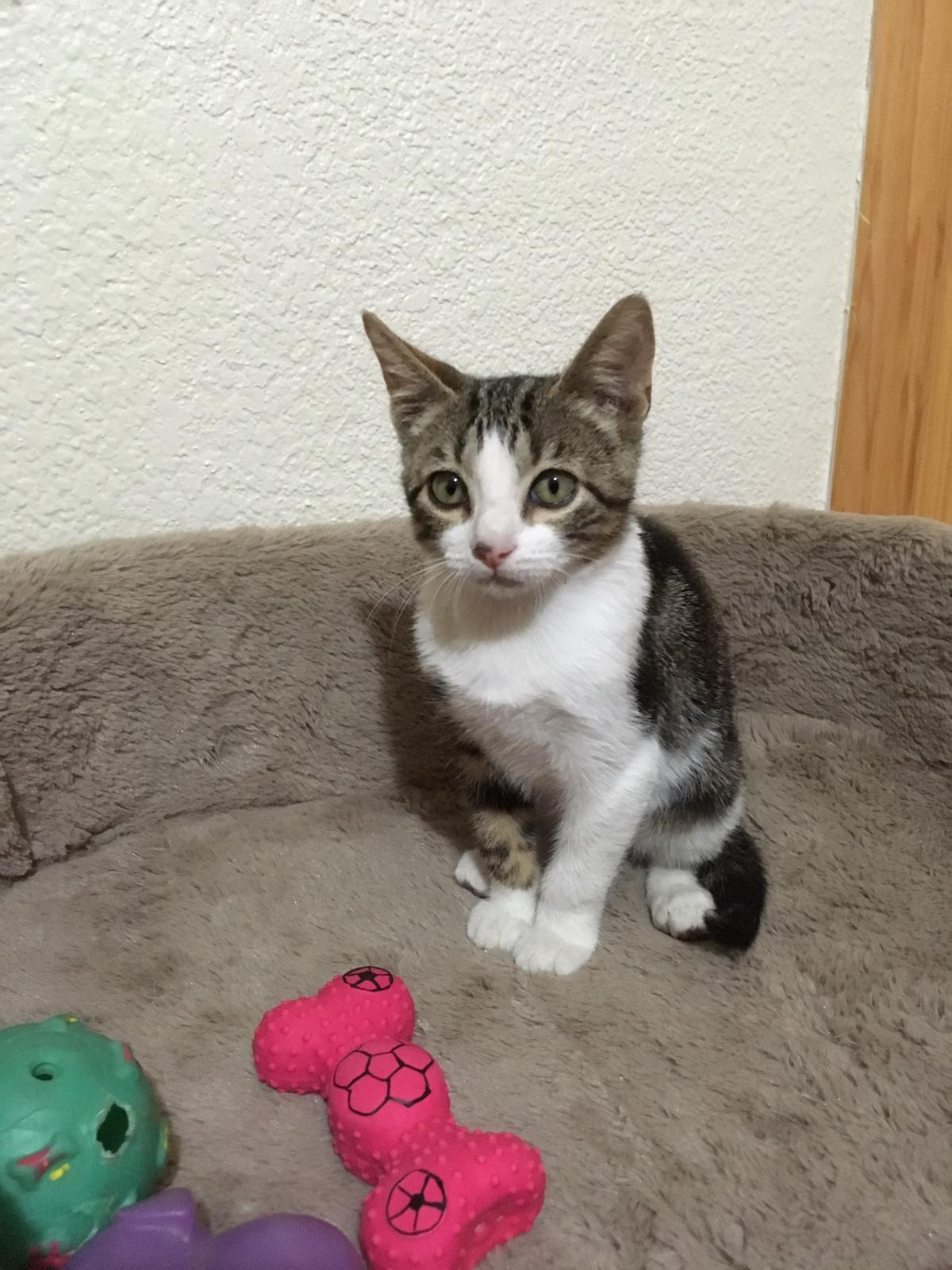 2chicco-gato-adopcion-madrid